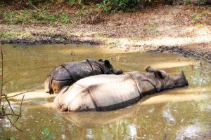 Panzernashörner im Chitwan-Nationalpark