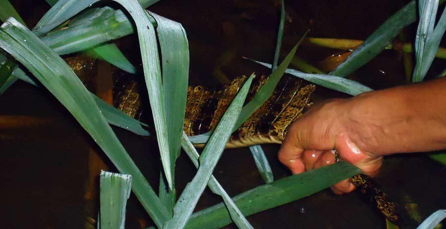 Ein kleiner Alligator im Rio San Juan Nicaragua