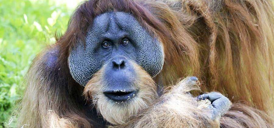 Ein Urang-Utan auf Borneo, der Ostseite Malaysias