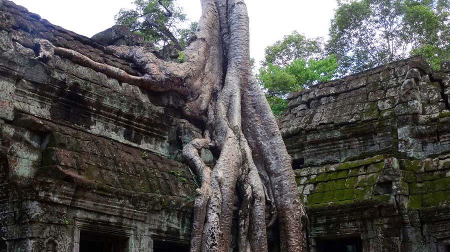 Angkor Wat: Würgefeige bei Ta Phrom