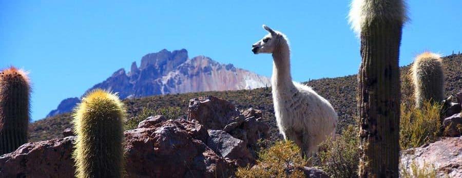 Bolivien Trekking: Es gitb viele wilde Lamas in Bolivien!