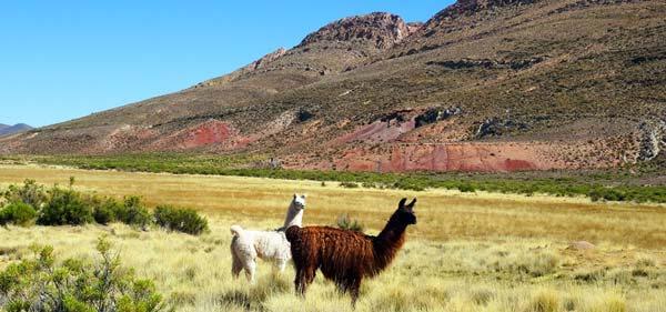 Wilde Lamas im Norden Argentiniens