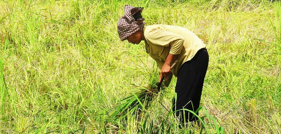 Battambang Sehenswürdigkeiten: Eine Frau erntet Reis in der Umgebung von Battambang