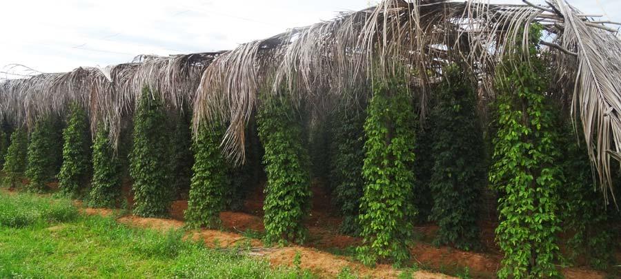 Grüner Pfeffer auf einer Farm außerhalb von Kampot