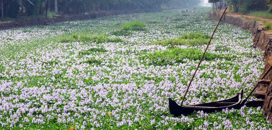 Kerala Backwaters: Blumen in einem Kanal