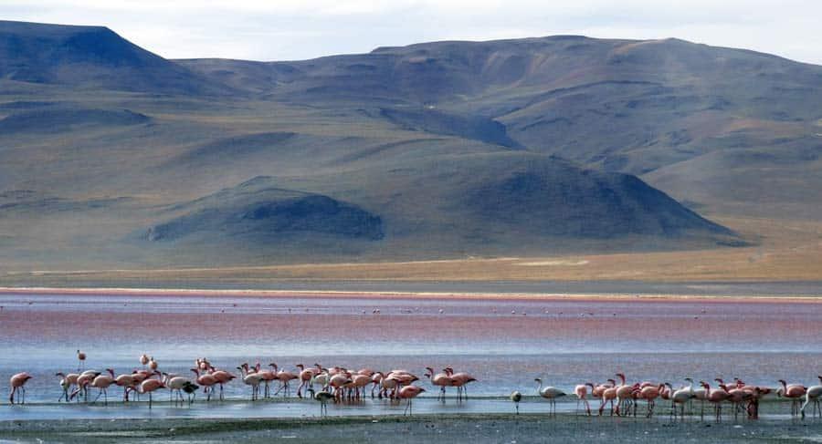 Salar de Uyuni: Laguna Colorada Flamingo Lagunen