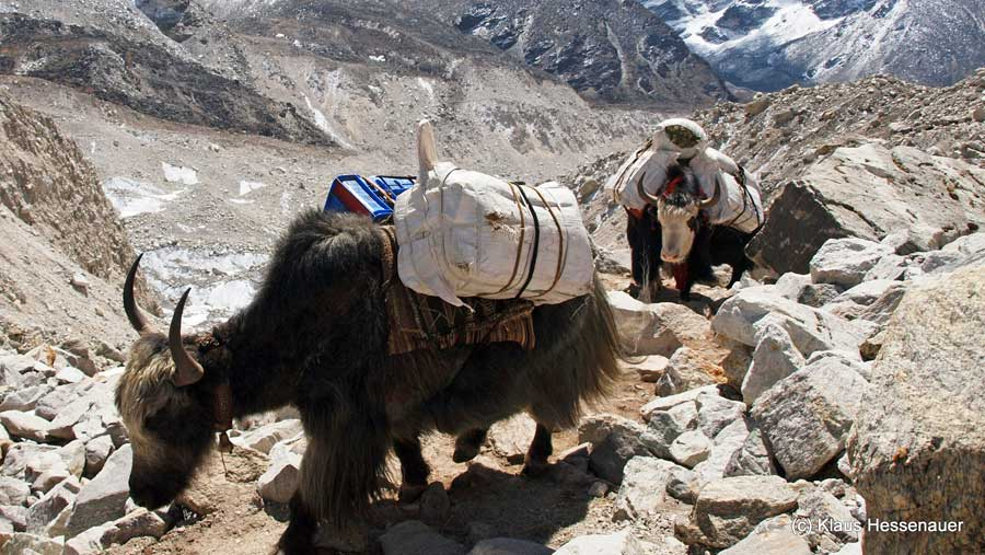 Everest Base Camp: Yak bei Ama Dablan hinter Lobuche