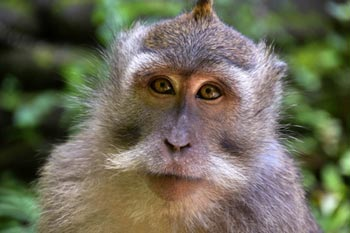 Ubud Hotels: Monkey Forest, Pengosekan
