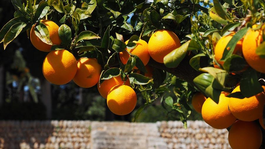 Valencia Sehenswürdigkeiten: Spanien Orangen