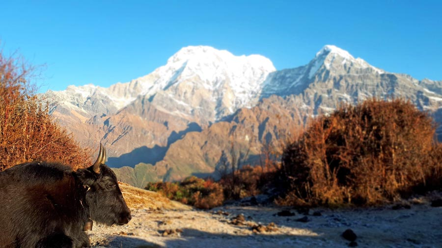 Mardi Himal Trek: High Camp, Yak