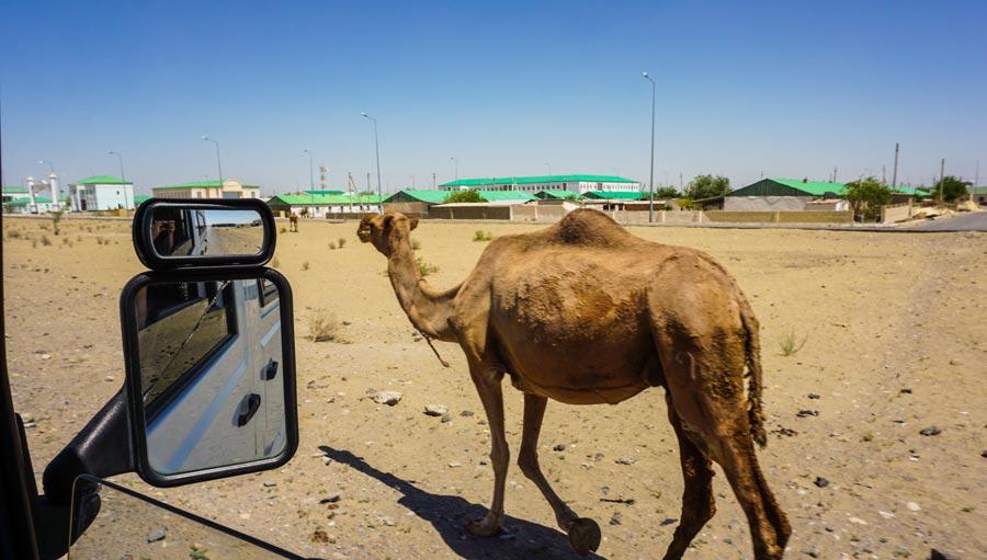 Ashgabat: Karakum Wüste Turkmenistan, Dromedar