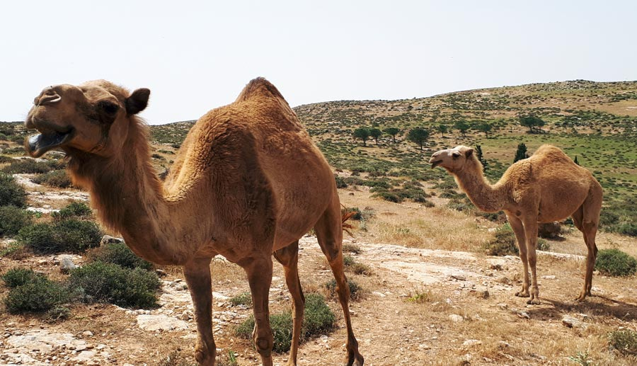 Israel Backpacking: Natur, Kamele