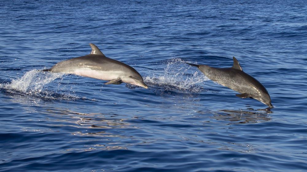 Delfine auf Madeira, eine Sehenswürdigkeit