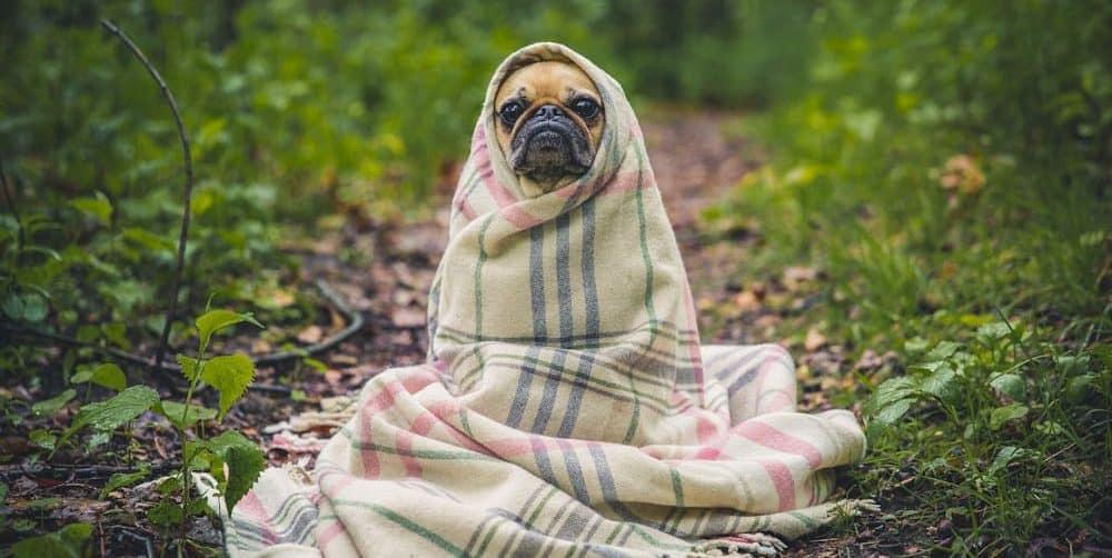 Hund in einer Decke