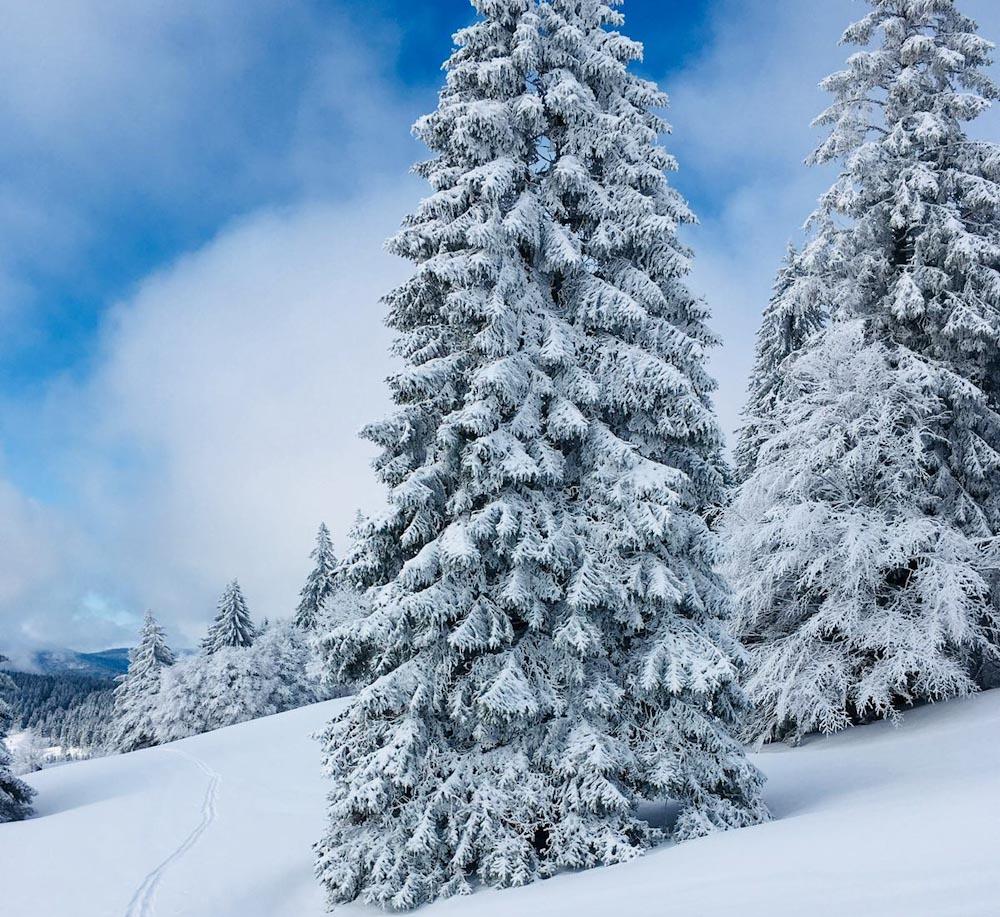 Schneebedeckte Tannen neben Weg Schwarzwald